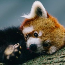 Милая красная панда