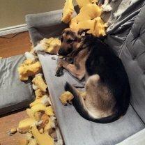 Нашкодившие собаки