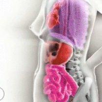 Человеческое тело - несколько фактов