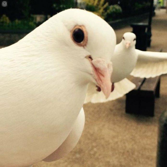 тантамареской голуби фотографии картинки смешные своей даче переделкино