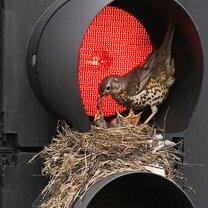 Фото приколы Неожиданные птичьи гнёзда (23 фото)