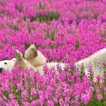 Красота полярных медведей