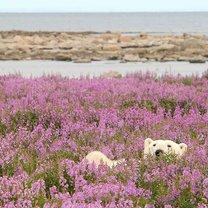 Фото приколы Красота полярных медведей (11 фото)