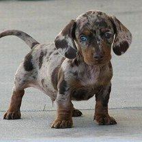 Фото приколы Красивейшие гибридные породы собак (24 фото)