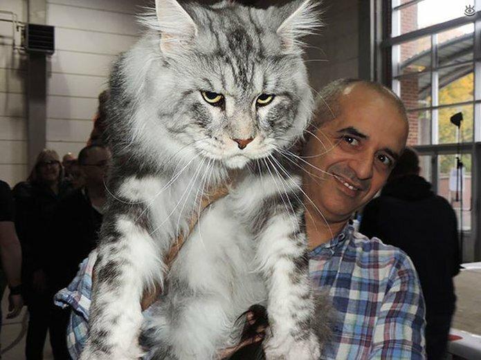 Самые большие кошки в мире 4