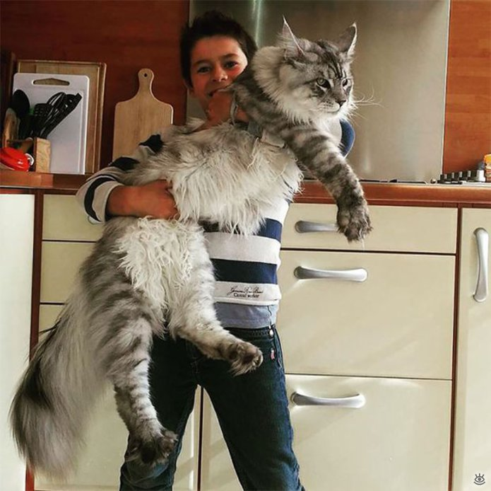 Самые большие кошки в мире 6