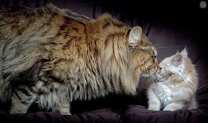 Самые большие кошки в мире 9