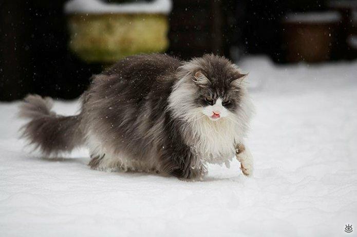 Самые большие кошки в мире 12