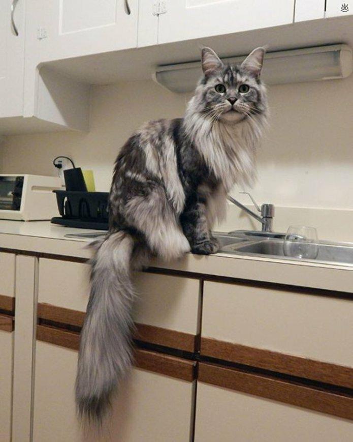 Самые большие кошки в мире 13