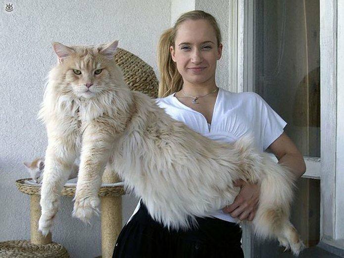 Самые большие кошки в мире 14