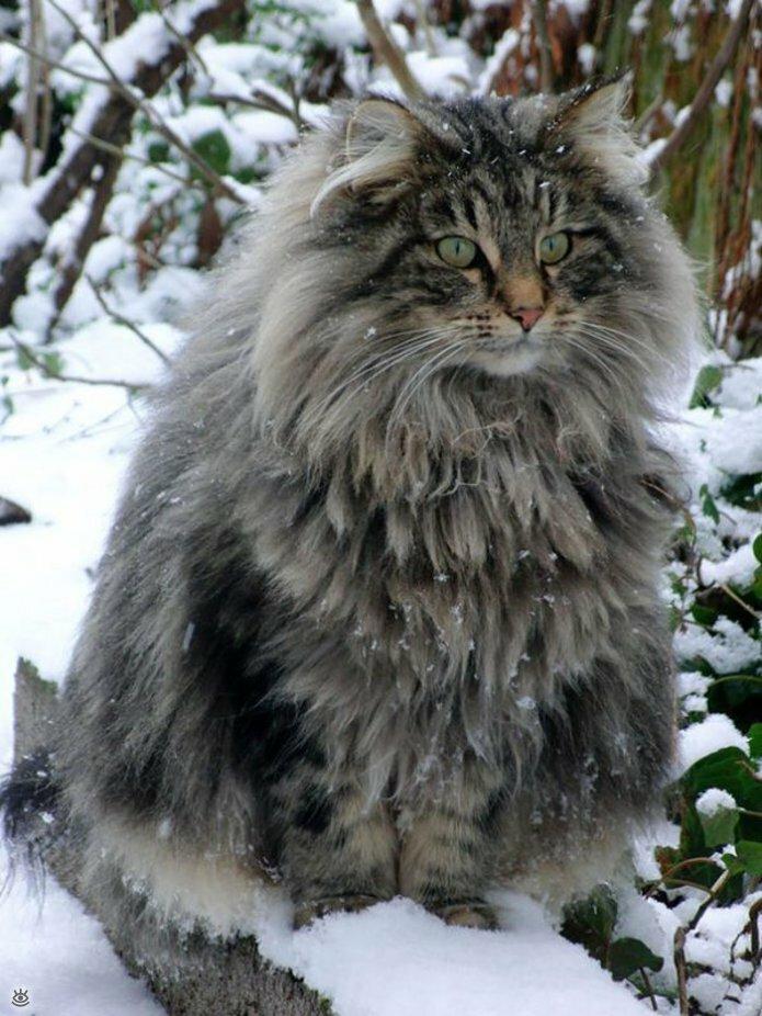 Самые большие кошки в мире 16