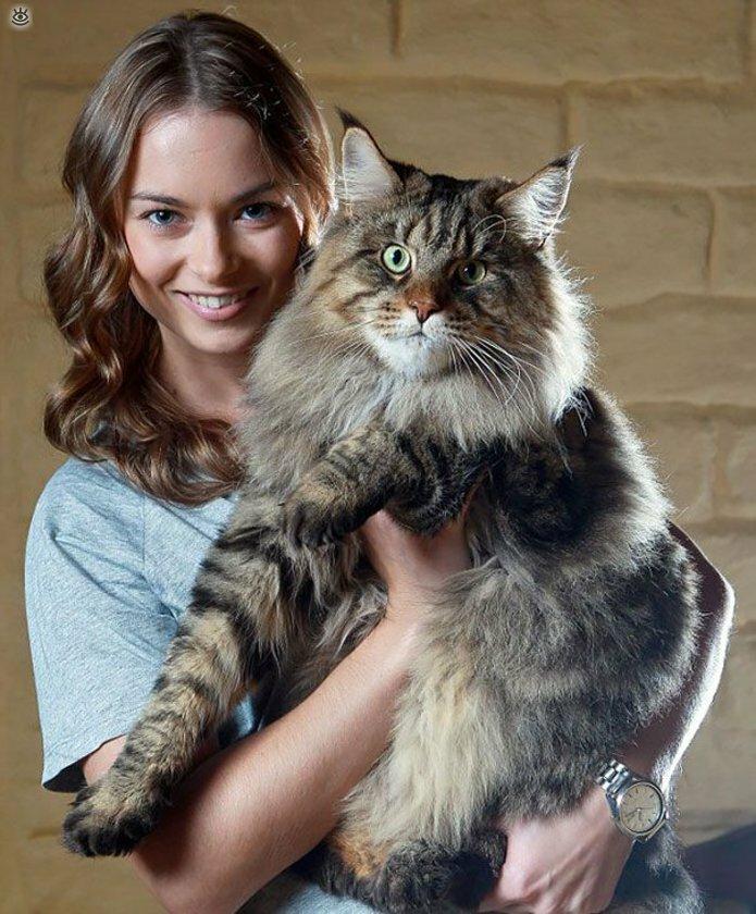 Самые большие кошки в мире 19