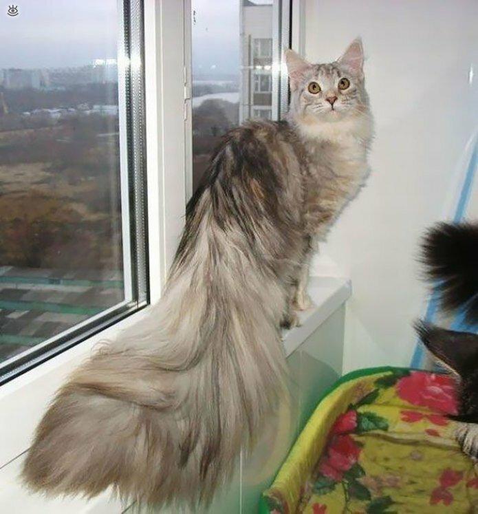 Самые большие кошки в мире 22