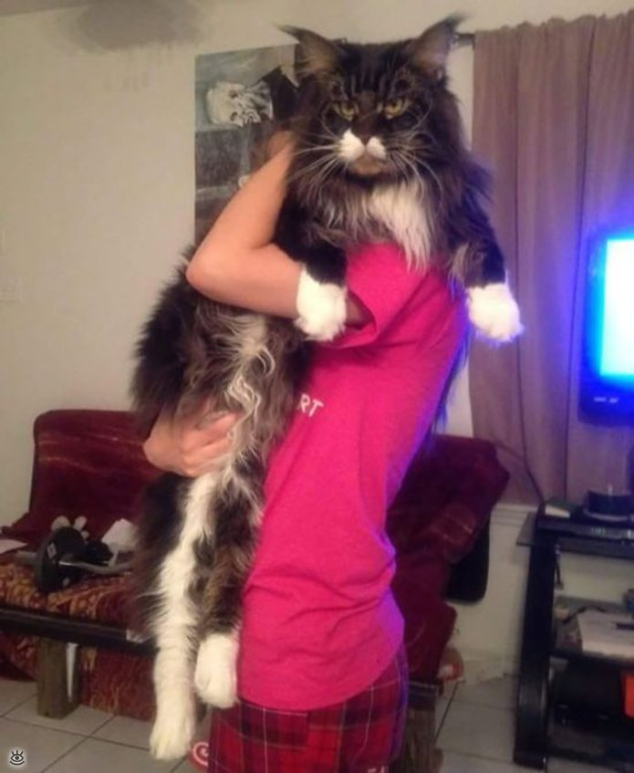 Самые большие кошки в мире 26