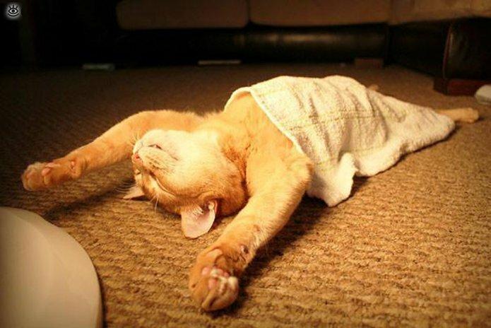 Как умеют спать кошки 6