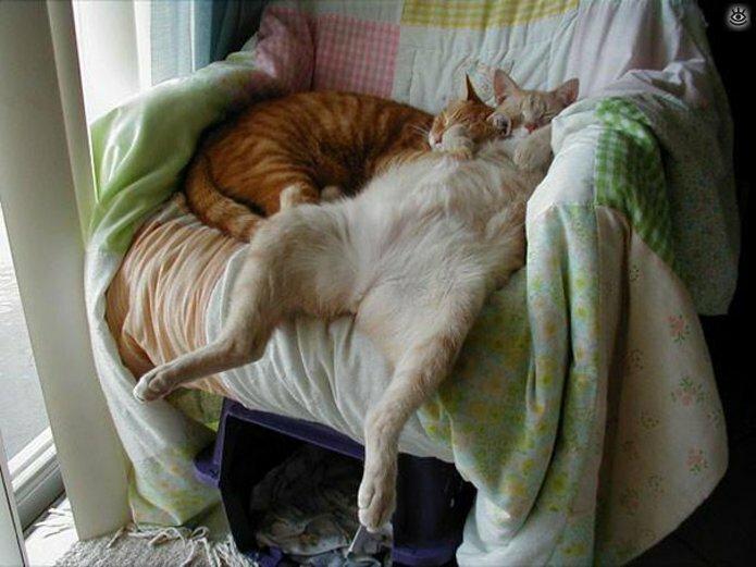 Как умеют спать кошки 12