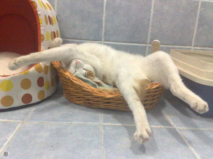 Как умеют спать кошки 22