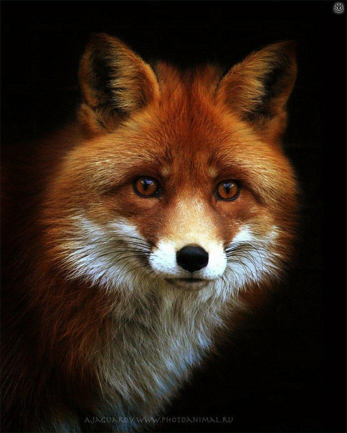 Рыжие красавицы-лисицы 0
