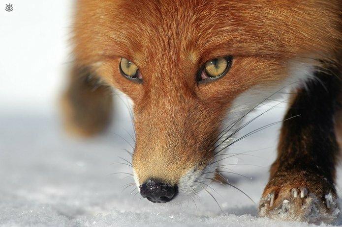 Рыжие красавицы-лисицы 1