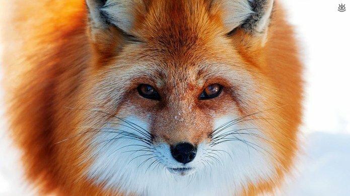 Рыжие красавицы-лисицы 2