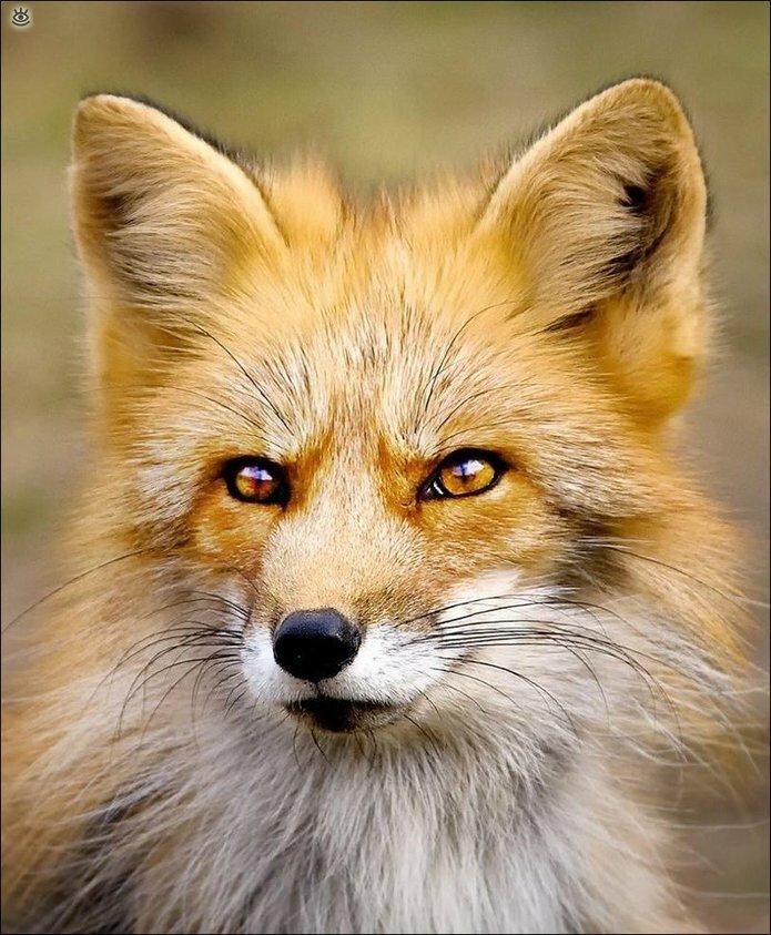 Рыжие красавицы-лисицы 3