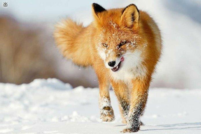Рыжие красавицы-лисицы 4