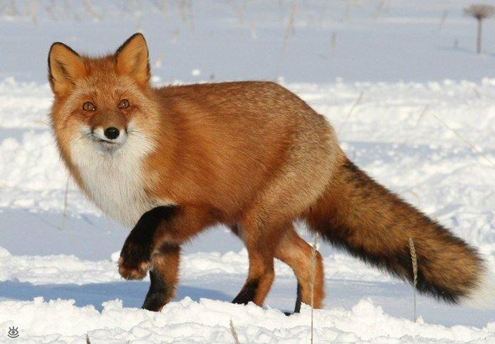 Рыжие красавицы-лисицы 5