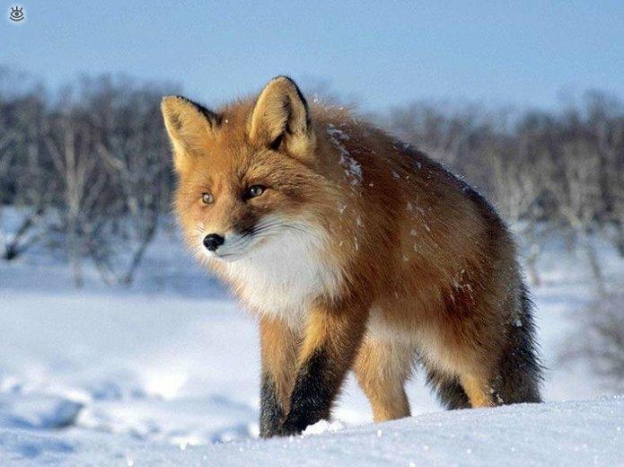 Рыжие красавицы-лисицы 6