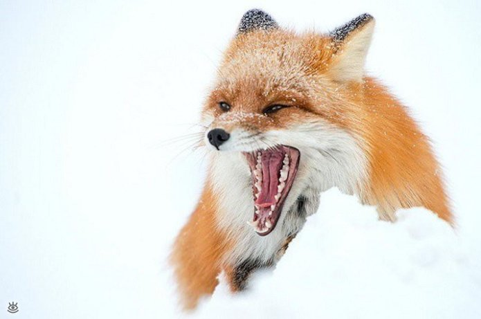 Рыжие красавицы-лисицы 8