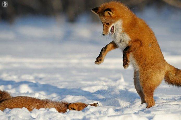 Рыжие красавицы-лисицы 9