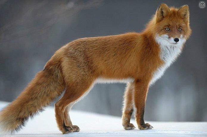 Рыжие красавицы-лисицы 10