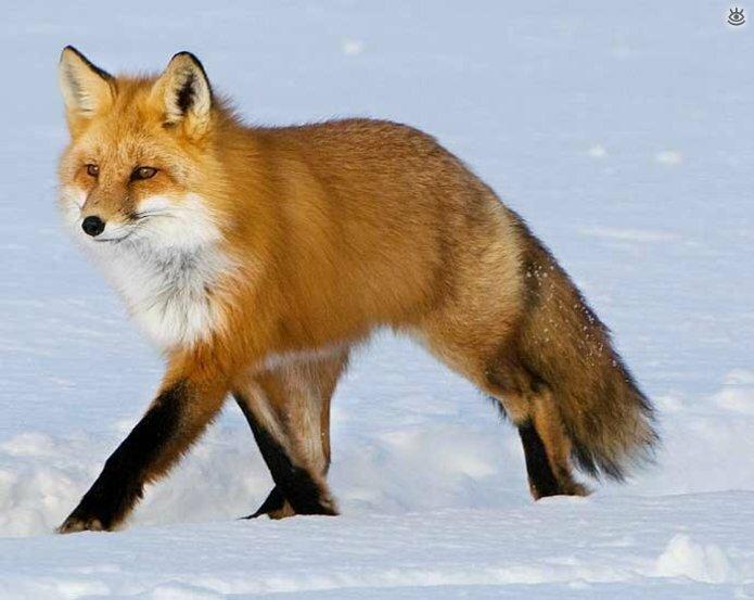 Рыжие красавицы-лисицы 12