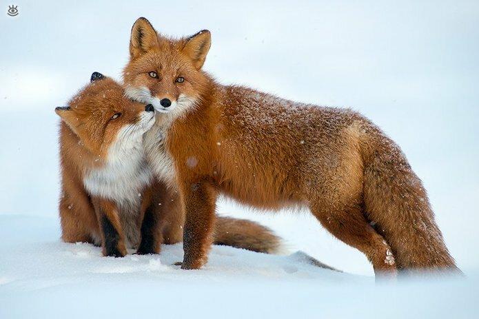 Рыжие красавицы-лисицы 14