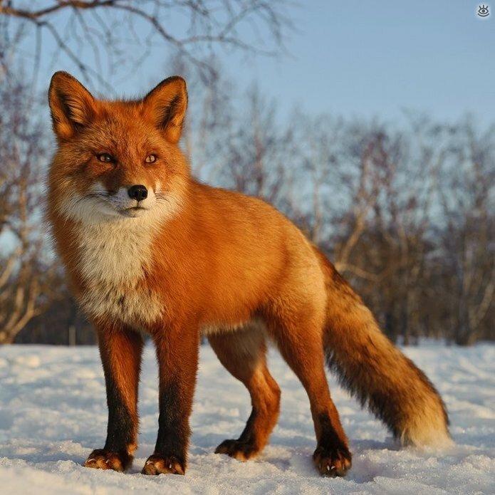 Рыжие красавицы-лисицы 15