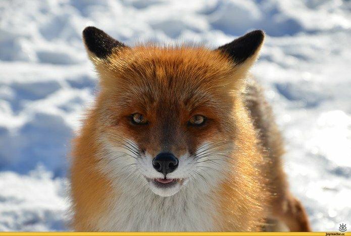 Рыжие красавицы-лисицы 16