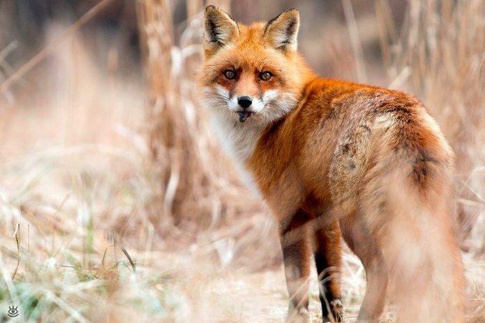 Рыжие красавицы-лисицы 17