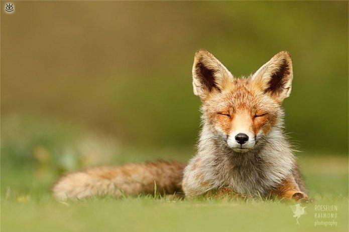 Рыжие красавицы-лисицы 18