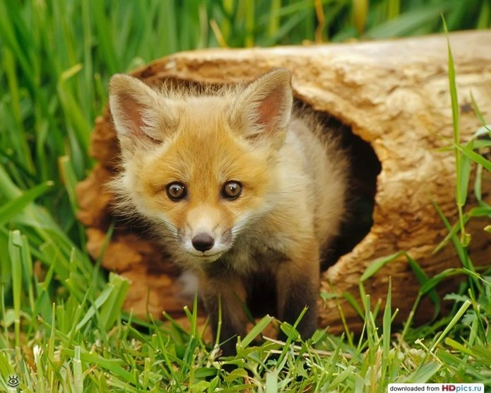 Рыжие красавицы-лисицы 19