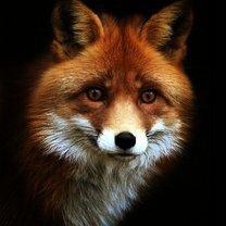 Рыжие красавицы-лисицы