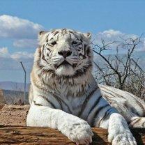 Величественные и красивые белые тигры
