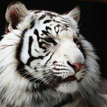 Фото приколы Величественные и красивые белые тигры (24 фото)