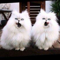Синхронные кошаки смешных фото приколов