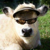 Смешные коровы и бычки