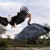 Фото приколы Схватка орла и цапли (8 фото)