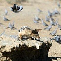Шакал охотится на голубей смешных фото приколов