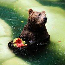 Животные, обожающие арбуз смешных фото приколов
