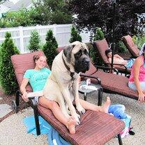 Фото приколы Огромные собаки (26 фото)