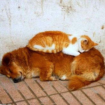 Собака - подушка для кошки