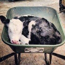 Милые и дружелюбные коровы