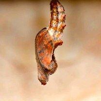 Как рождается бабочка фото